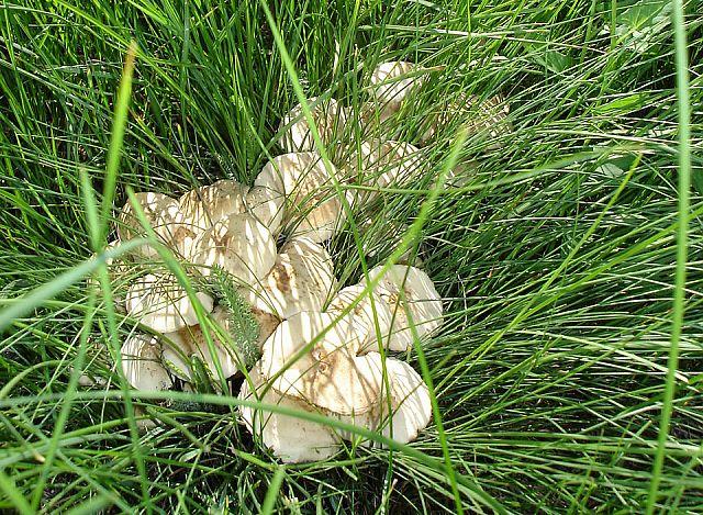 грибы опенок фото